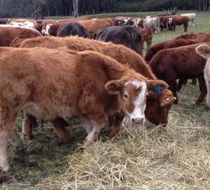 Paddock Beef