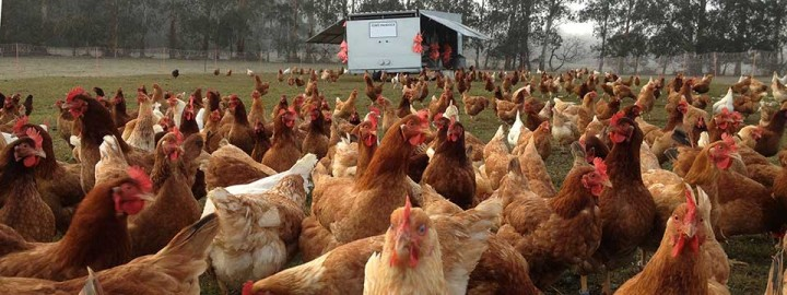 Chickens Feeding on the farm at Toms Paddock