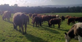 pasture fed beef grazing at Toms Paddock