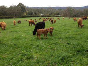 Post_Spring_Calves2